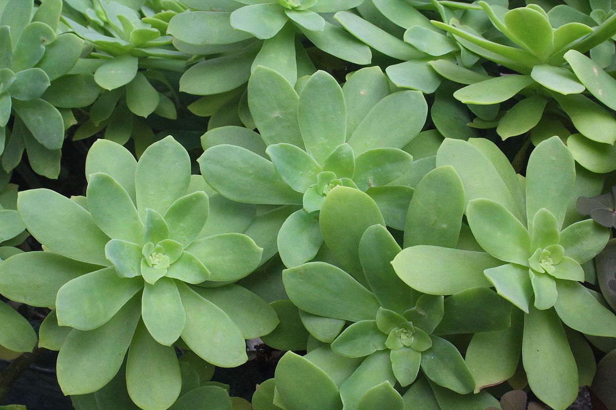Stonecrop Sedum Species