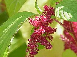 Amaranthus caudatus (Love-lies-bleeding, jenis Amaranthus yang lain.)