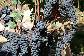 Growing in the wine region of St-Estephe in th...