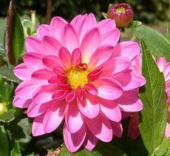 """Dahlia """"Dahlstar Sunset Pink"""""""
