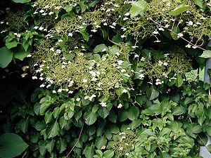 Hydrangea petiolaris photo by Bruger:Sten