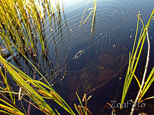 English: A spider web