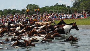 English: The 82nd Annual Chincoteague Pony Swi...