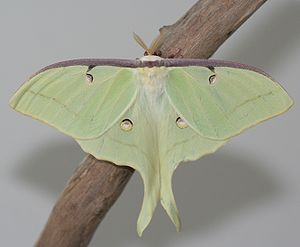 English: Male Luna Moth (Actias luna)