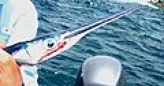Needlefish.jpg