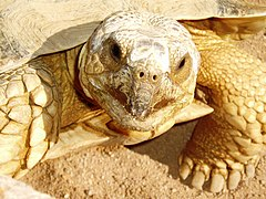 African Sulcata (African Spurred Tortoise). By Alexey Krapukhin.
