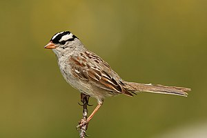 English: White-Crowned Sparrow / (Zonotrichia ...