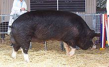 Champion Berkshire boar