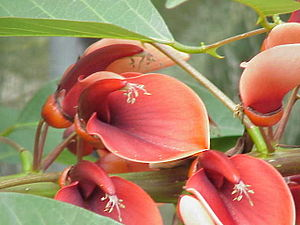 Species: Erythrina crista-galli Family: Fabace...