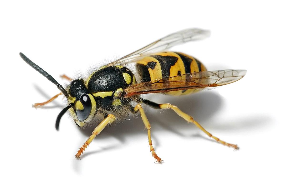 Types Bees Hawaii