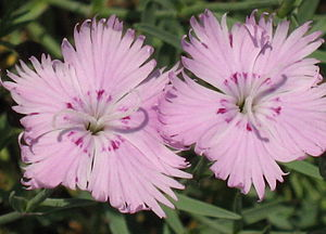 English: Dianthus [ Pink ] flowers
