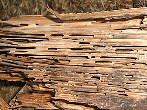 Wood damage by C. herculeanus