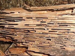 Wood damage by C. herculeanus