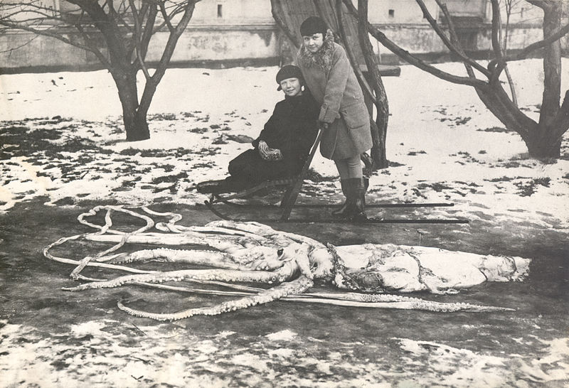 File:Kjempeblekksprut - Giant Squid.jpg