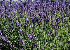 Flores da Lavandula angustifolia