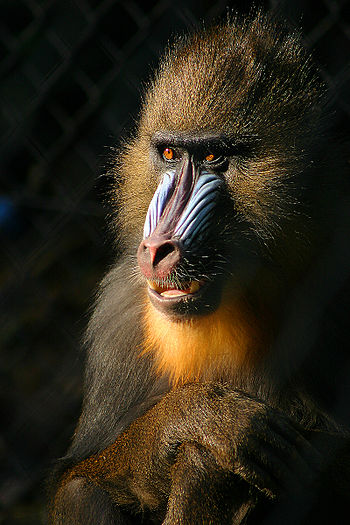 Mandrill (Mandrillus sphinx), looks almost hum...