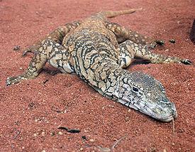 Perentie di Kebun Binatang Perth