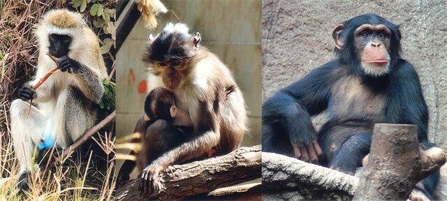 https://i2.wp.com/upload.wikimedia.org/wikipedia/commons/thumb/9/93/SIV_primates.jpg/640px-SIV_primates.jpg
