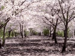 SakuraHealed.png