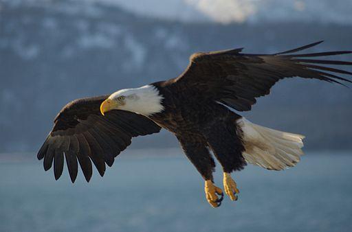 Bald Eagle Alaska (10)