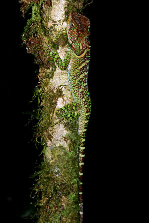 Amazon forest dragon (Enyalioides laticeps) in...