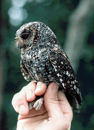 The taxonomic status of the Flammulated Owl is...