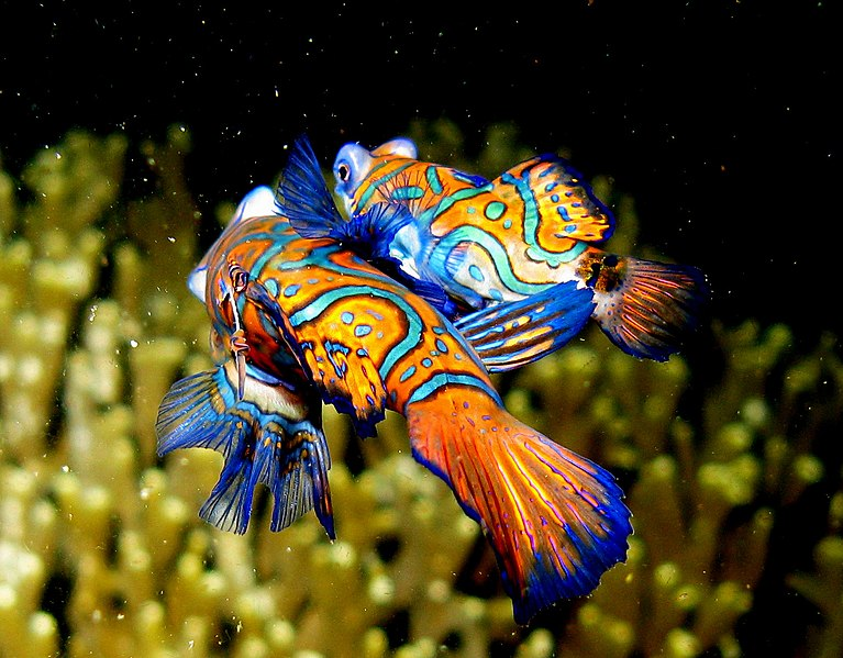 File:Mandarin Fish - mating.jpg