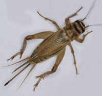 Common house cricket on white background.