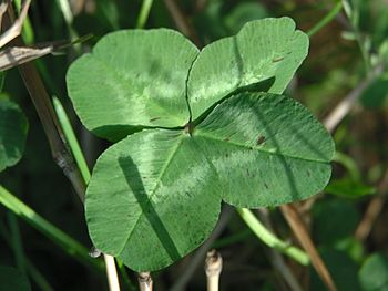 Four-leaf clover (Four-leaf clover,クローバー)