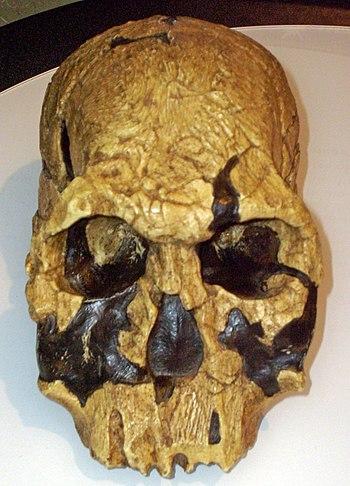 Homo rudolfensis skull (KNM ER 1470) reconstru...