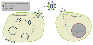Packaging and infection by a lentiviral vector
