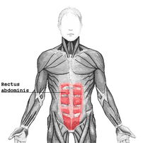 The human rectus abdominis muscle, part of the human abdomen
