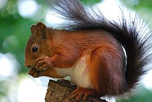 Red squirrel (Sciurus vulgaris) on a tree. Bro...