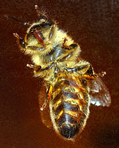 170px-Western_honeybee_bottom_%28aka%29 dans ABEILLES