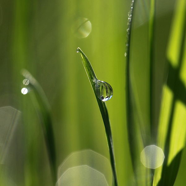 File:Wet blade of grass.jpg