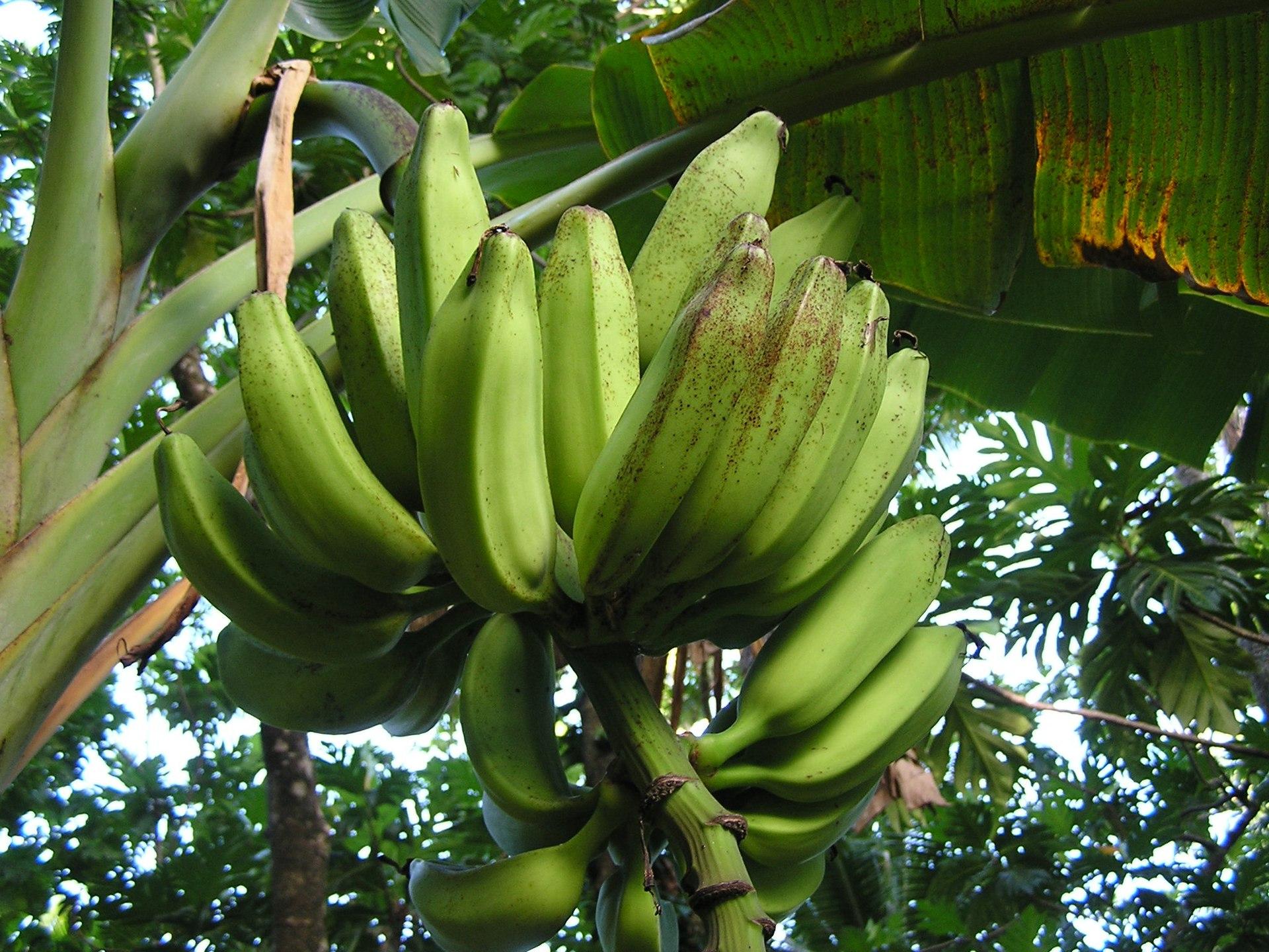 Banana Freckle Wikipedia