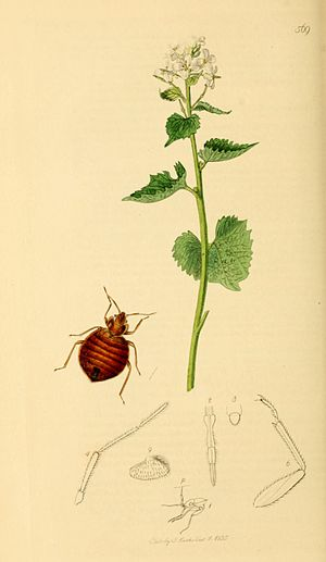 English: Cimex lectularius the Bed-bug