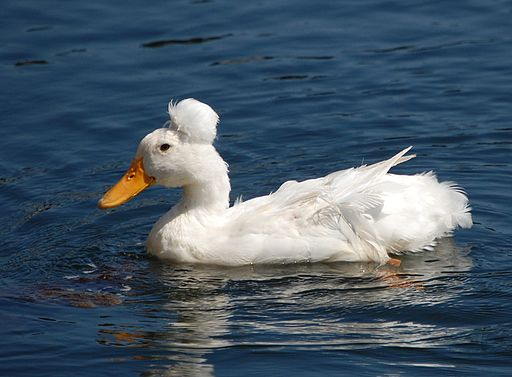 Domestic-crested-duck-CamdenME