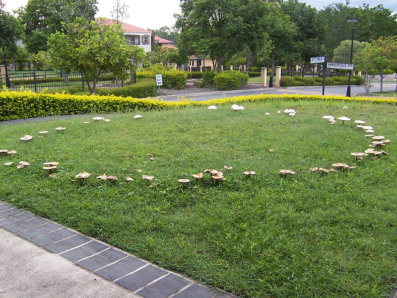 Fairy ring in grass