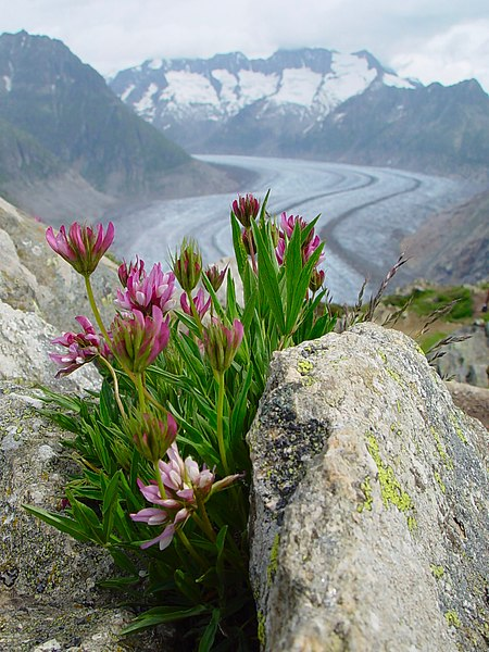 File:Glacier d'Aletsch avec fleurs.jpg