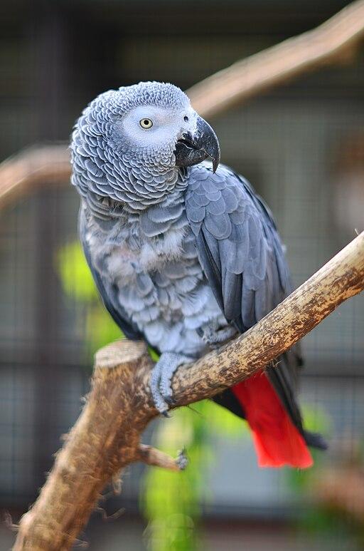 Graupapagei (Psittacus erithacus erithacus) - Weltvogelpark Walsrode 2011
