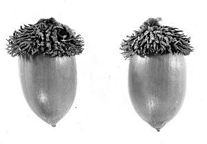 Lithocarpus densiflorus acorn