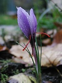 A single shell-shaped violet flower is in sharp centre focus amdist a blurred daytime and overcast garden backdrop of soil, leaves, and leaf litter. Four narrow spine-like green leaves flank the stem of the blossom before curving outward. From the base of the flower emerge two crooked and brilliant crimson rod-like projections pointing down sideways. They are very thin and half the length of the blossom.