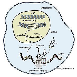 DNA, RNA, transcription, translation,