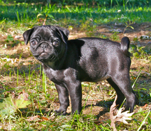 A small black pug puppy.