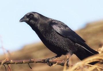Corvus brachyrhynchos -Seattle, Washington, USA-8