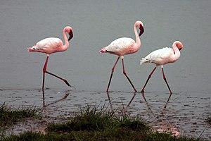 English: Lesser Flamingos in the Ngorongoro Cr...