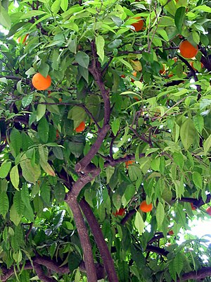 Sevilla has orange trees everywhere.