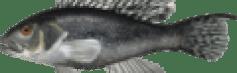 Centropristis striata.png