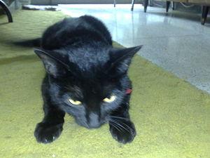 Un gato bombay (raza) dato curioso: se llama s...